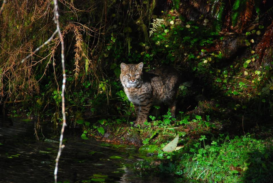 Free A bobcat prowls Taft Creek in the Hoh