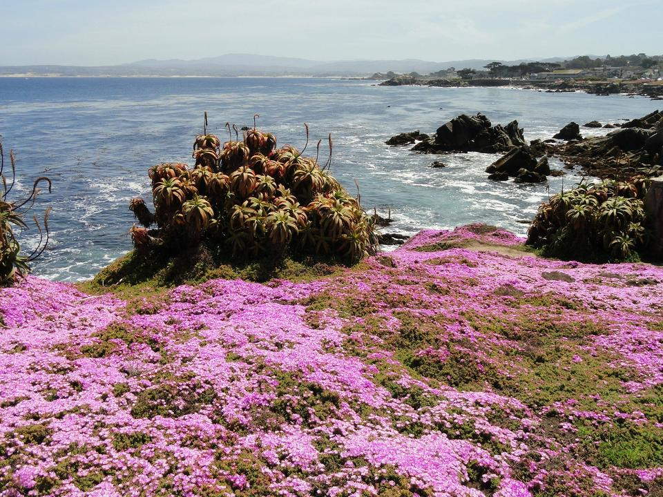 Free Flower-lined ocean walk at Pacific Grove, California