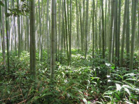 Free Bamboo Forest