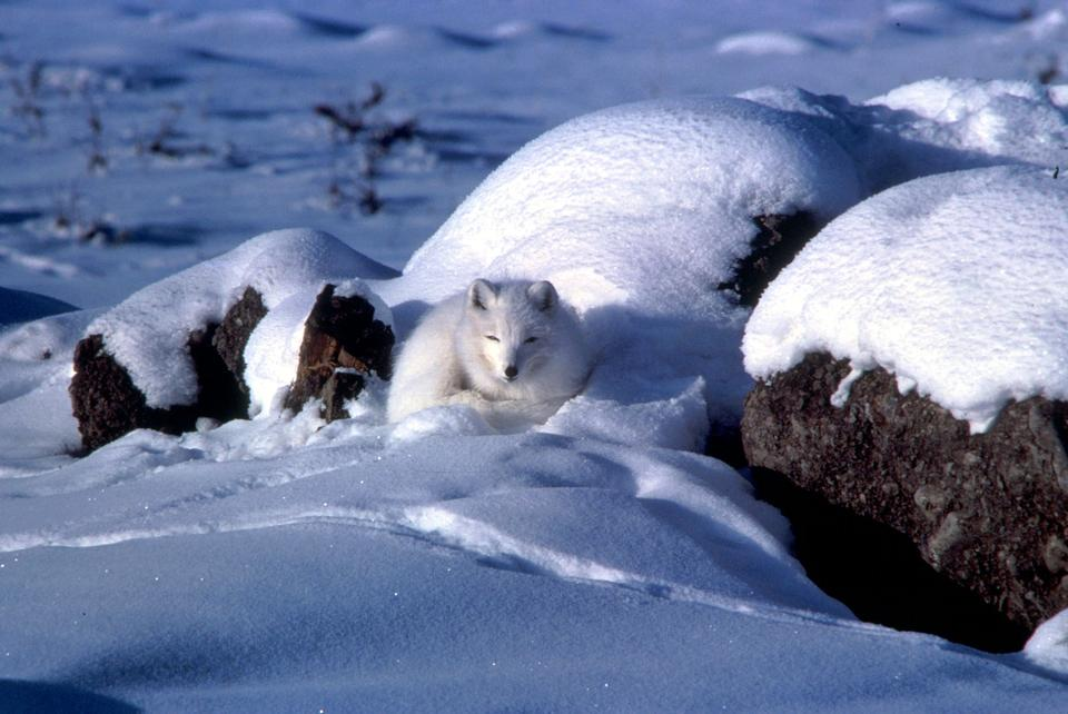 Free A chilly-looking arctic fox sitting on pressure ridge