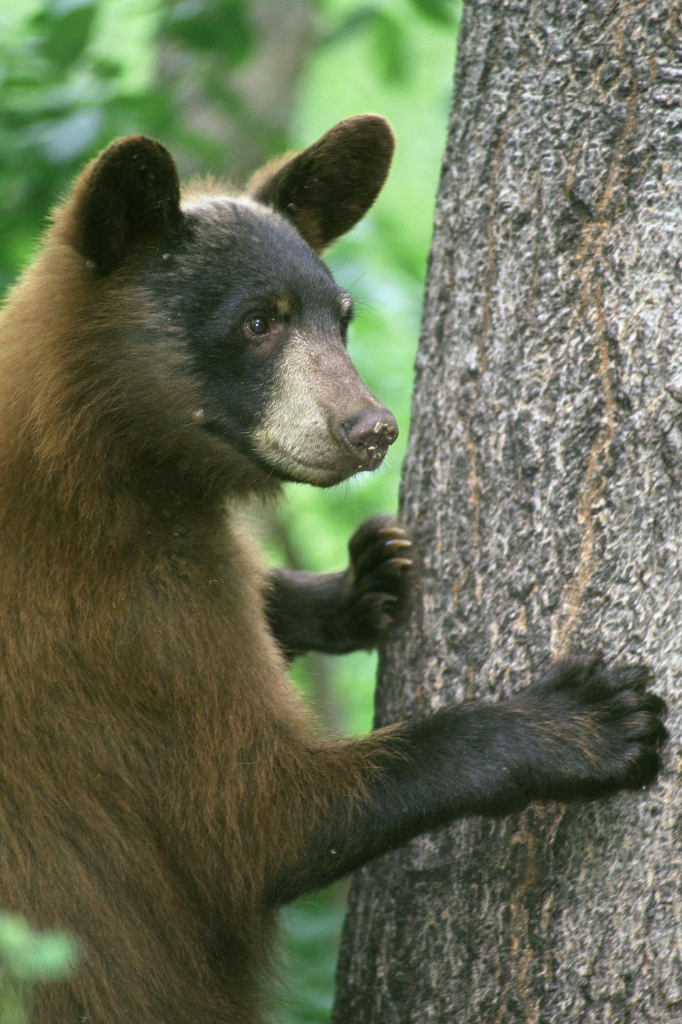 Free American Black Bear