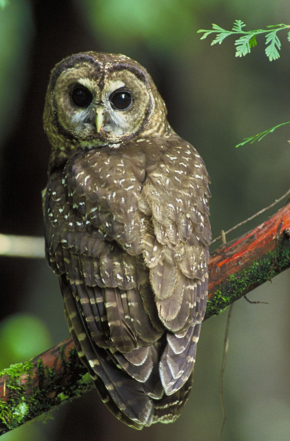 Free Northern Brown Spotted Owl Adolescent