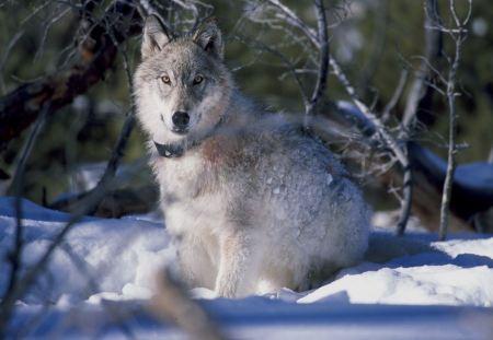Free Grey Wolf by Single Birch Tree