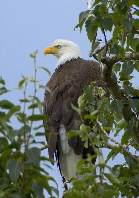 Free North American Bald Eagle
