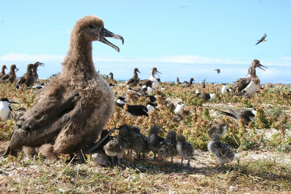Free Southern Royal Albatross