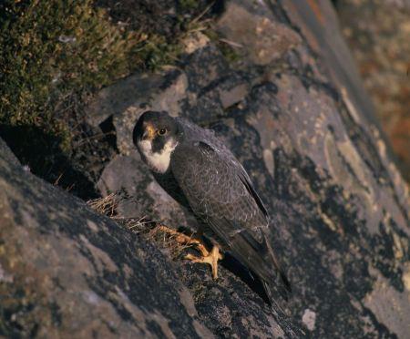 Free A Peregrine Falcon perched on a stump