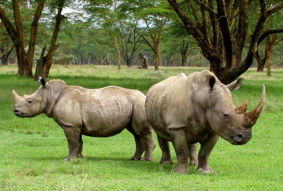 Free White rhinoceros South Africa