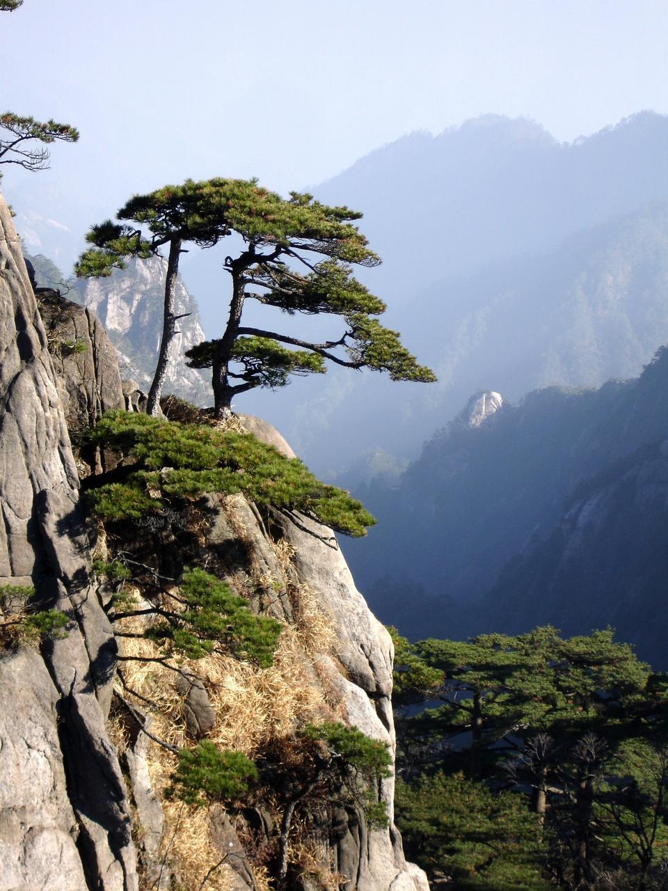 Free Huangshan mountain with Pinus hwangshanensis trees