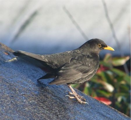 Free Beautiful blackbird sitting on the branch