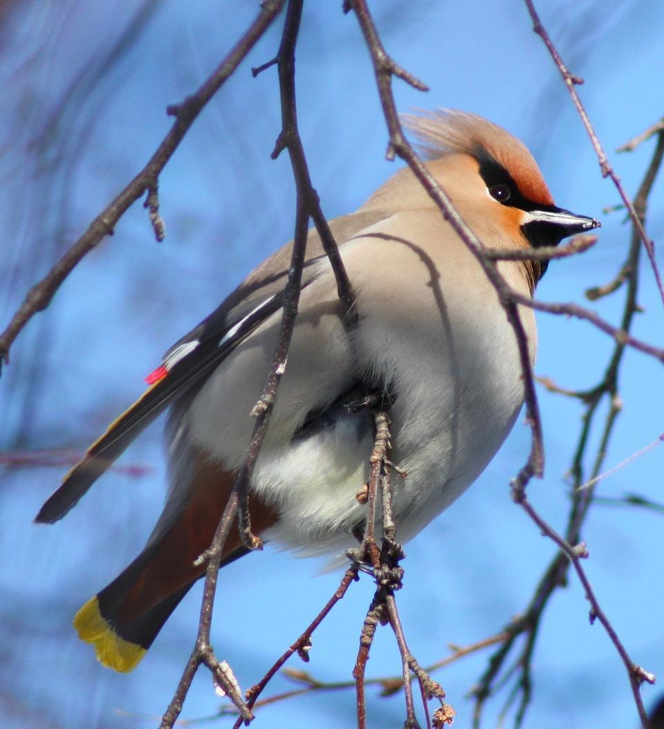 Free Bohemian Waxwing Bird on a branch