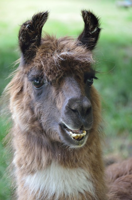 Free Photos: Animal llama mammal brown   kewl