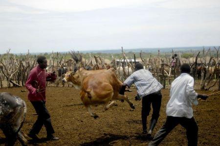 Free Men chasing calf in  Uganda