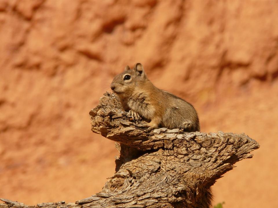 Free Cute baby chipmunk Squirrel