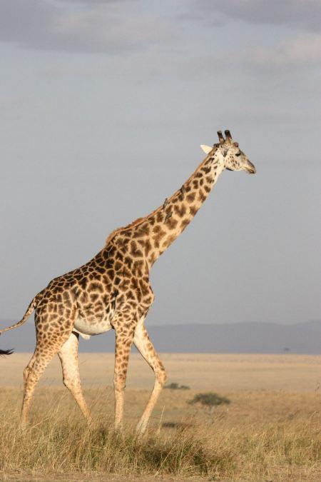 Free Giraffe on wild South Africa