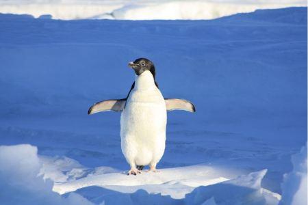 Free Adelie Penguin in Antarctica