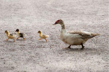 Free Family of ducks