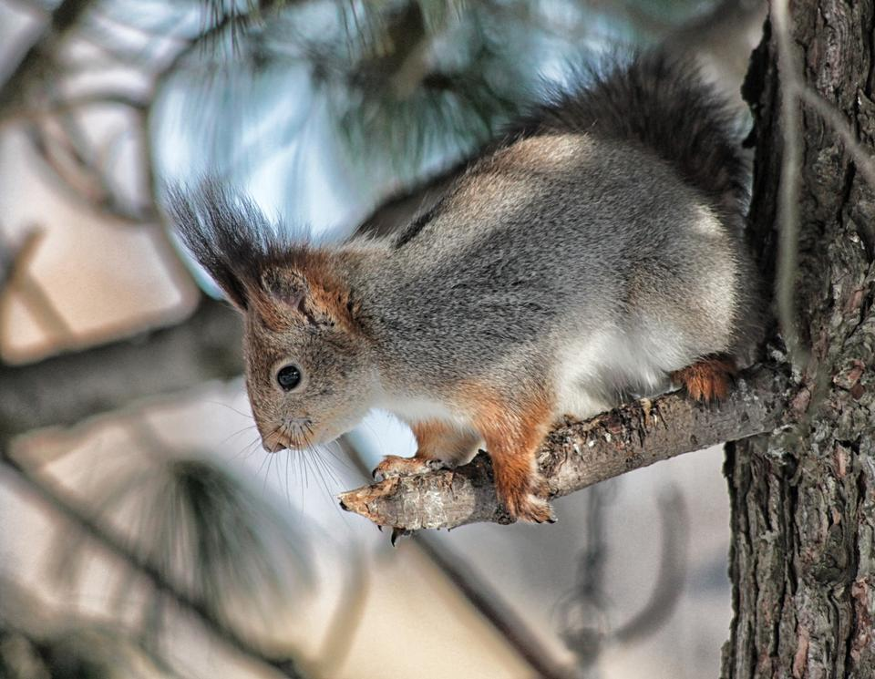 Free Fox squirrel huddled on a tree