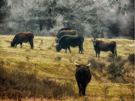 Free young bulls on the meadow in the Bavaria Germany