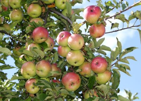 Free Apples on an apple-tree