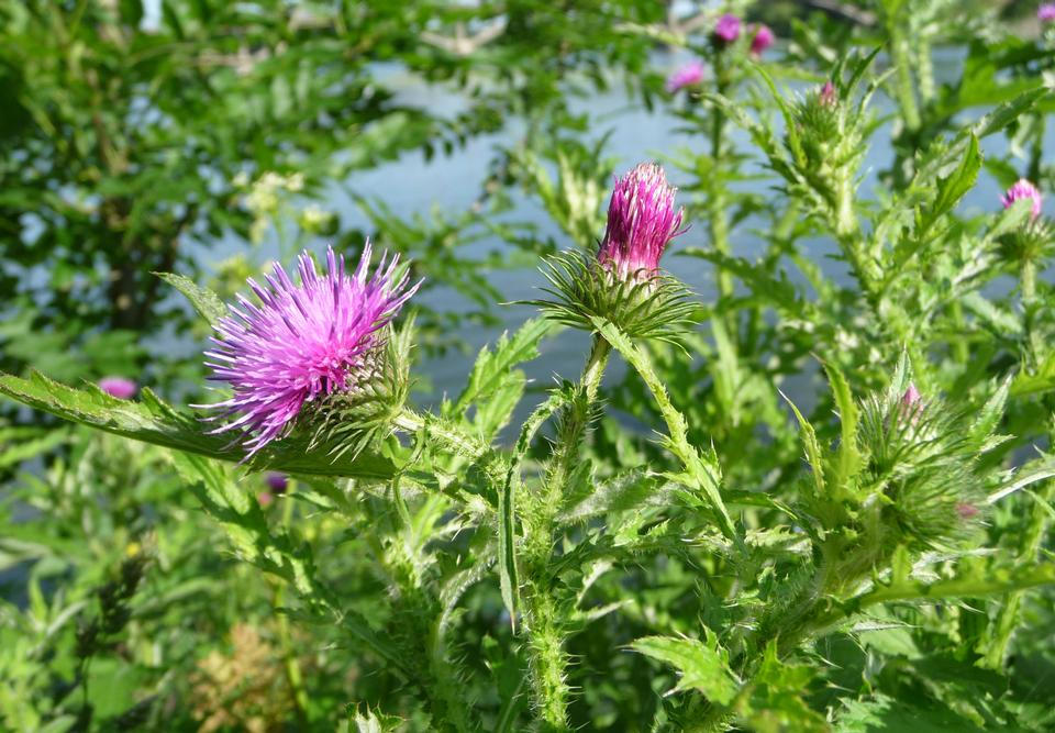 Free Welted thistle