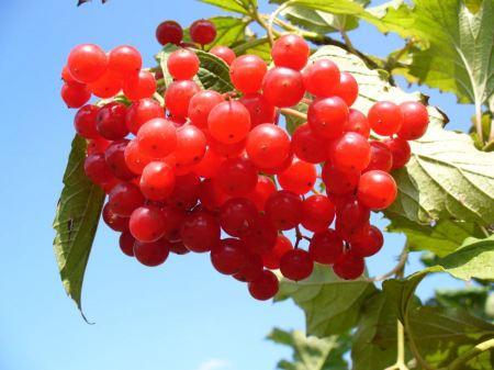 Free European Cranberrybush