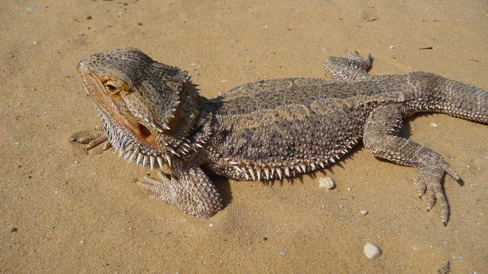 Free Central Bearded Dragon close-up