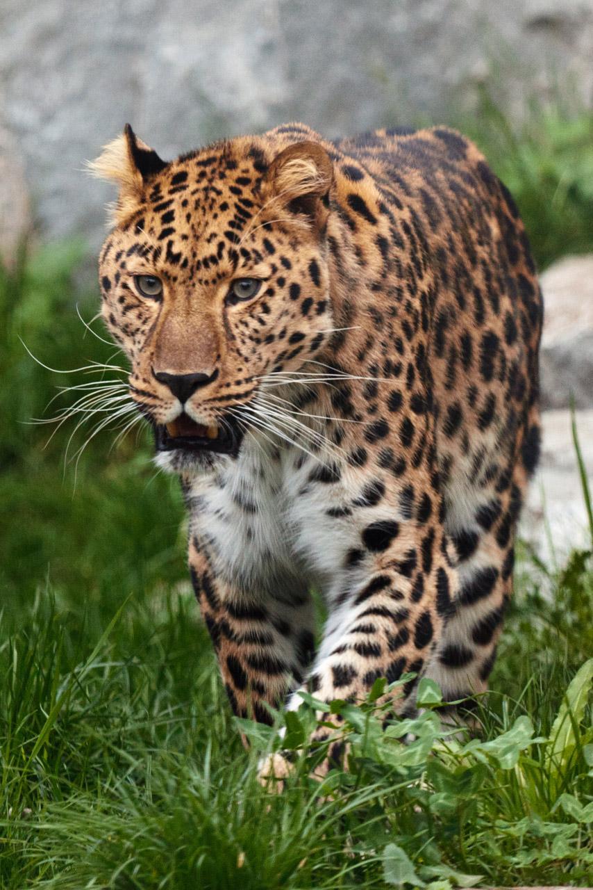 Free Leopard Walking in Grass