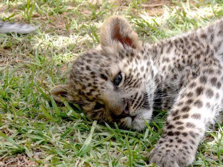 Free Portrait of an Sri Lankan Leopard
