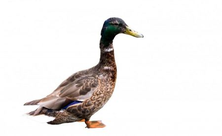Free duck isolated on white background