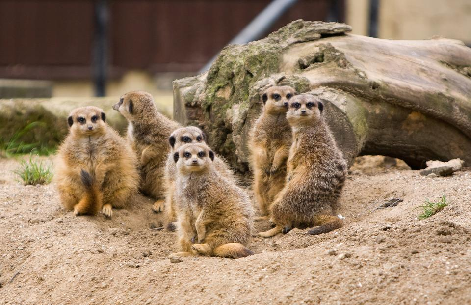 Free Family of Meerkats