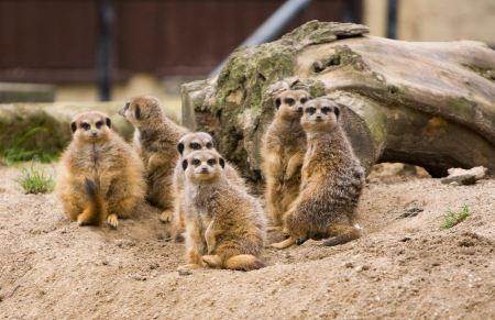Free Family of Meerkats