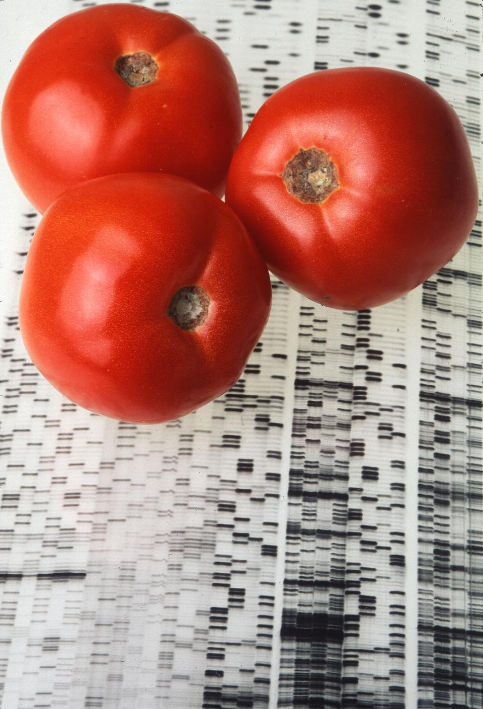 Free Endless Summer Tomatoes On A Gene Map