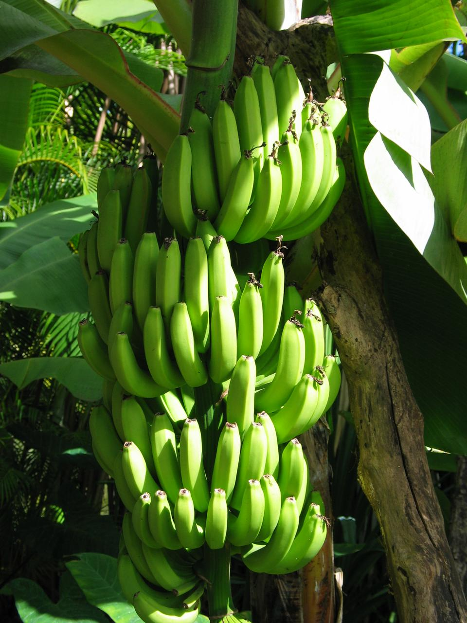 Free Bananas Growing In Bunches