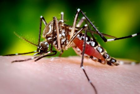 Free Close-up Of A Mosquito Feeding On Blood