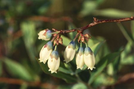 Free Close-up Of White Flowers On A Blueberry Plant