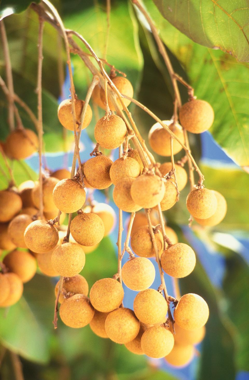 Free Longans Growning On A Tree