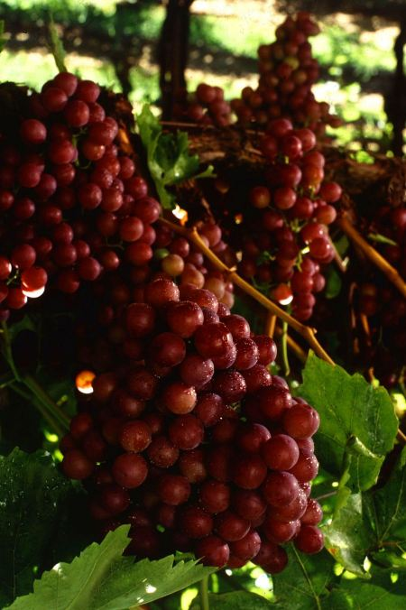 Free A Bunch Of Red Seedless Grapes On A Vine