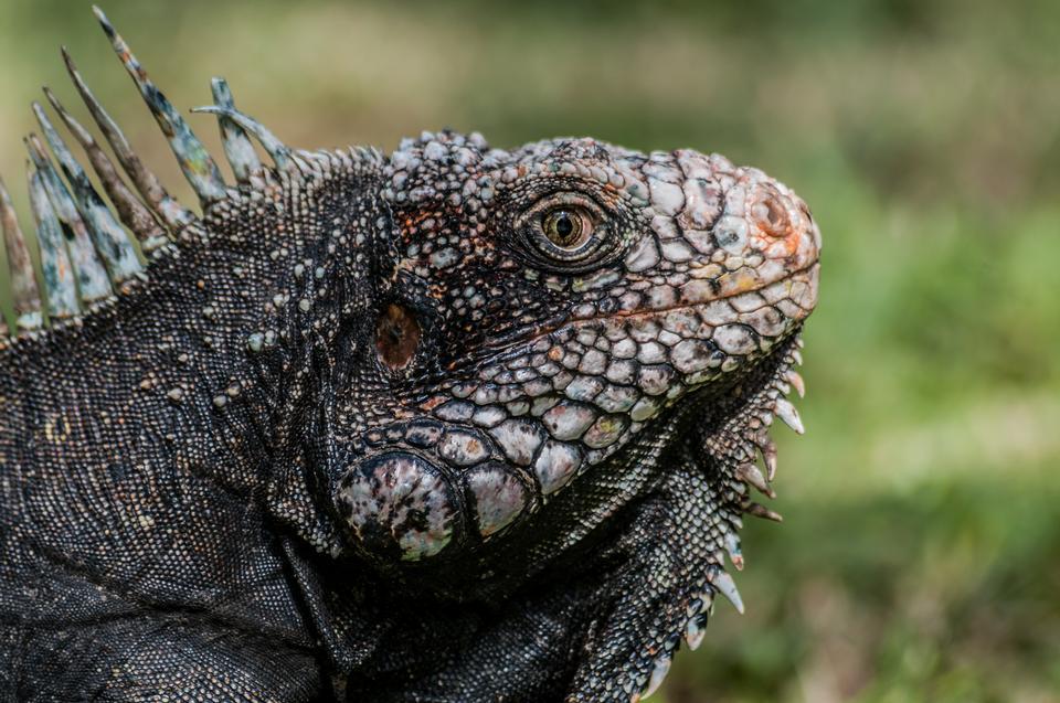 Free iguana head from Venezuela