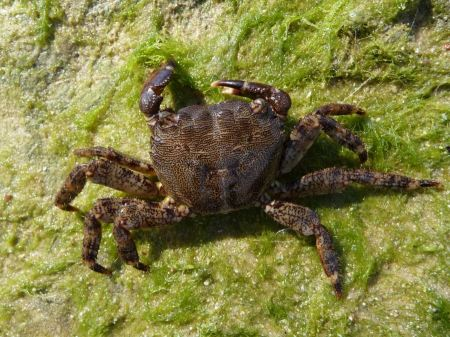Free Marbled rock crab female