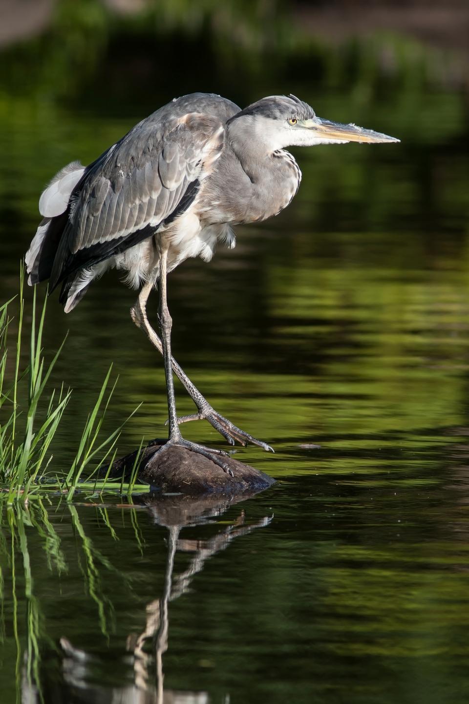 Free Grey Heron