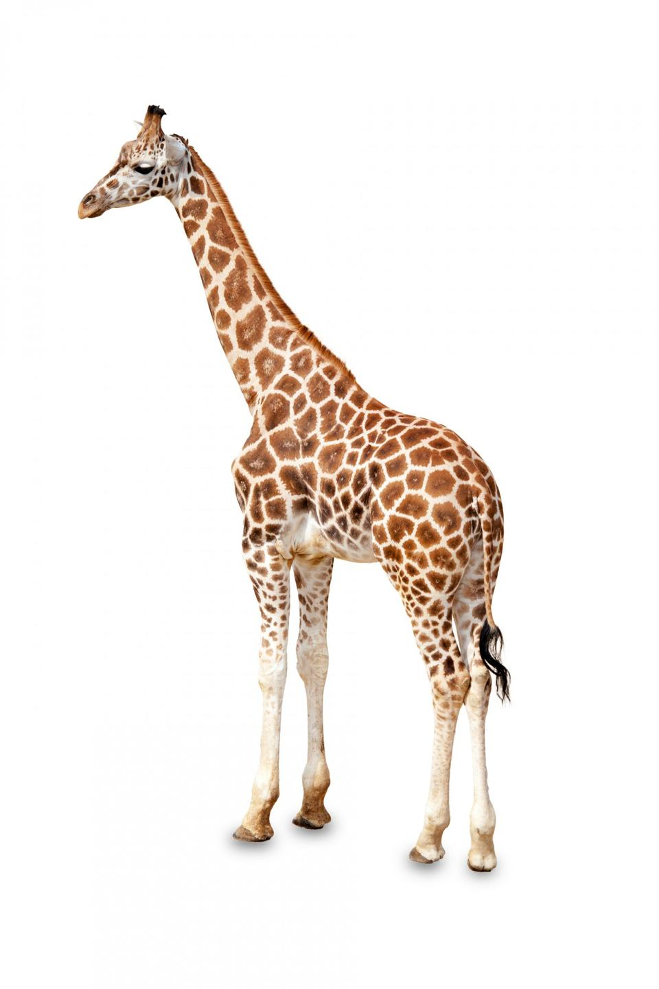 Free one giraffe is isolated on white background