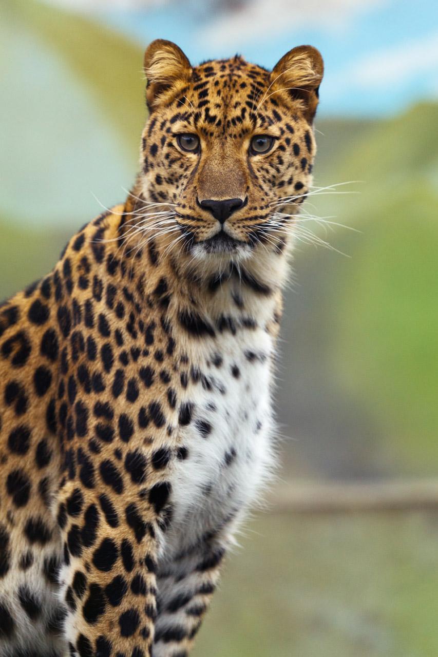 Free Leopard portrait. Sleek
