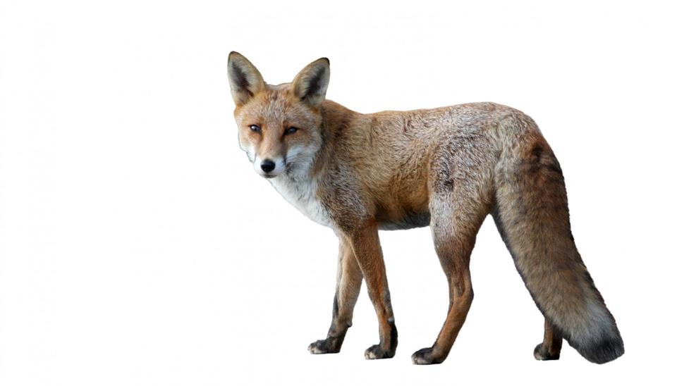 Free Red Fox, Vulpes vulpes in front of white background