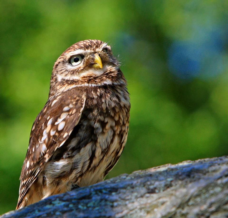 Free Beautiful close-up portrait of a cute Little Owl bird