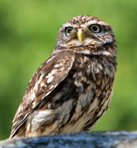 Free Close-up portrait of a Little Owl
