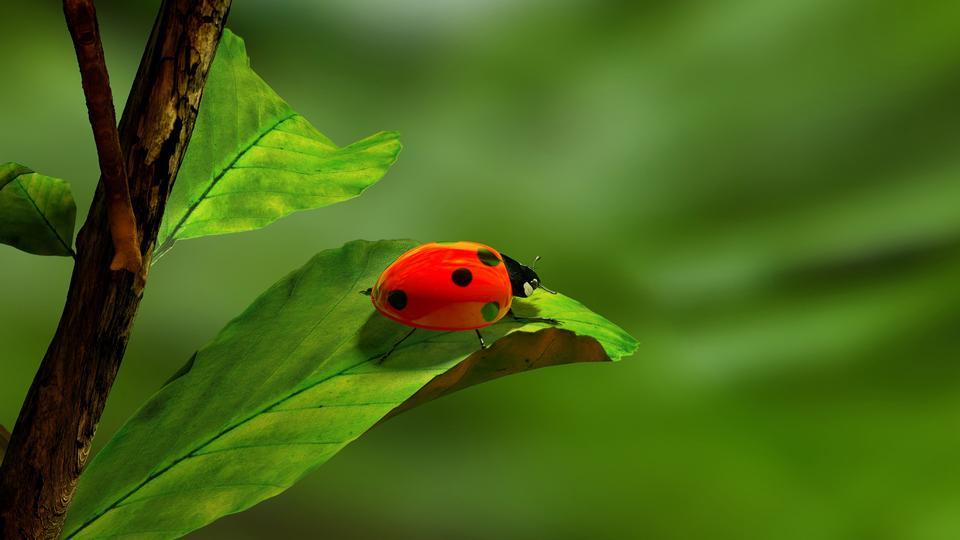 Free Ladybird on a leaf