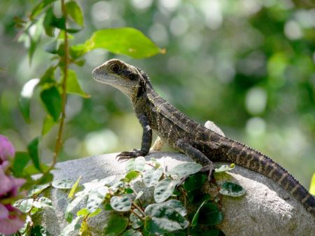 Free Green crested lizard, black face lizard, tree lizard