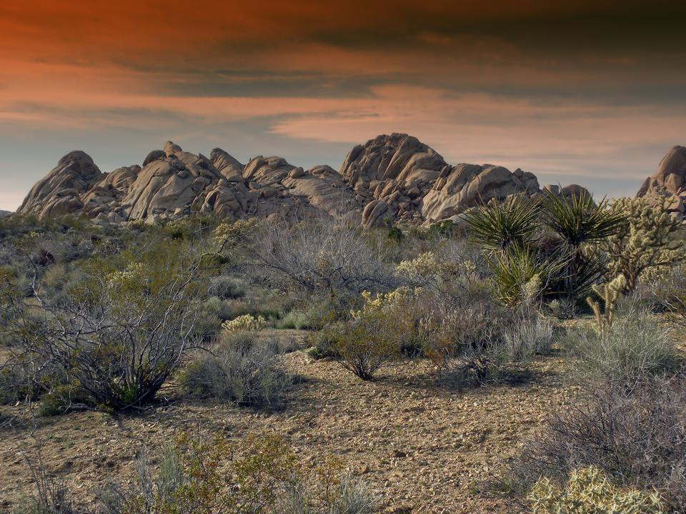 Free Joshua tree in desert