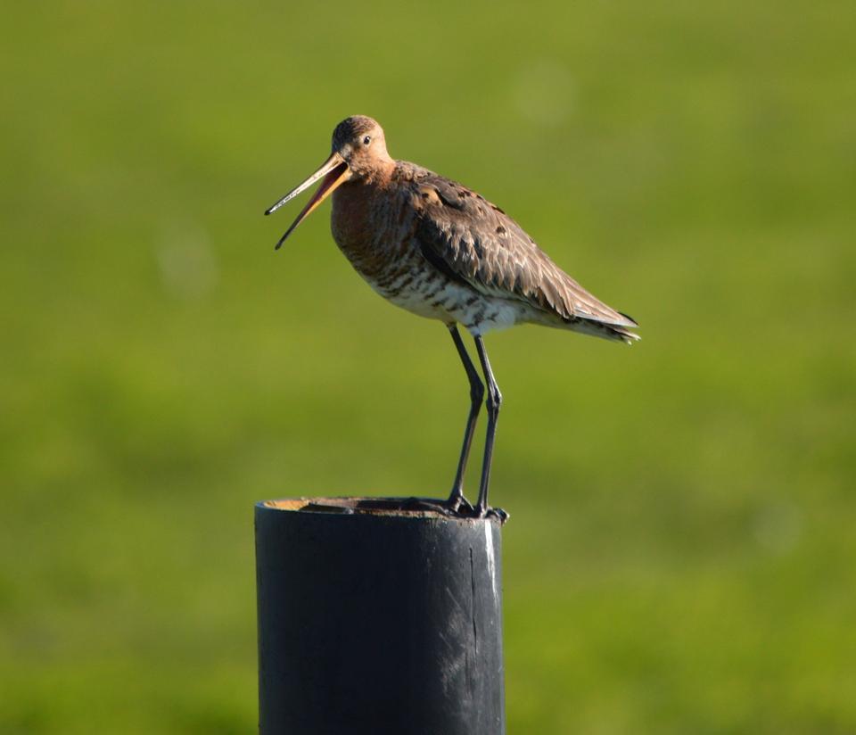Free Black-tailed Godwit