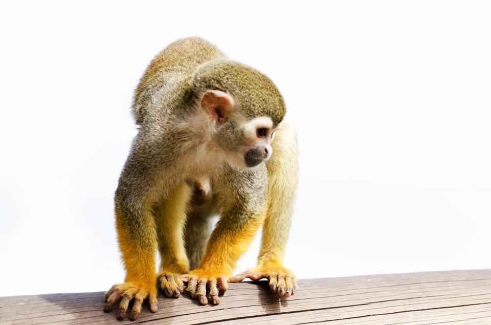 Free Squirrel monkey on the white background